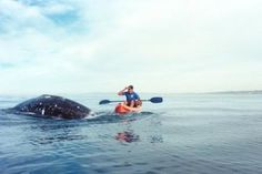 Whale Watching from a kayak is the best way to get up close and personal with these gentle giants! Book your next San Diego whale watching tour with La Jolla Kayak, San Diego's premiere ocean adventure outfitter.