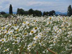 Tripleurospermum Inodorum - Free photo on Pixabay Free Pictures, Free Photos, Free Images, Wild Flowers, Egypt, Mountains, Travel, Diabetes, Beverages