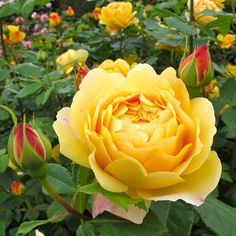 Golden Celebration, English Leander Hybrid. Golden yellow blooms. Delicious tea scent with hints of Sauternes wine and strawberry.