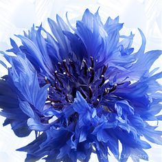 Korenbloem (Centaurea cyanus) | Flickr - Photo Sharing!