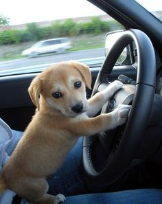 Puppy's really can drive hurray...