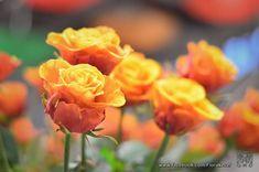 Keceli Virágfesztivál 2020. FLORA Virágfesztivál és Keceli Országos Fazekas Kiállítás - Programturizmus Rose, Flowers, Plants, Pink, Plant, Roses, Royal Icing Flowers, Flower, Florals