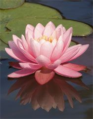 Water lily canvas art
