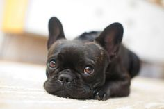 San Francisco Dog Photographer - French Bulldog | Nuena Photography by Kira Stackhouse