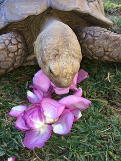 Kingsley the Sulcata tortoise eating lavender roses