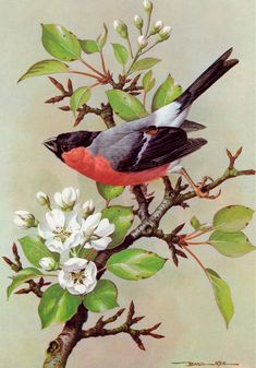 Bullfinch Print of A Painting by Basil Ede Vogel Illustration, Gravure Illustration, Botanical Illustration, Vogel Clipart, Bird Clipart, Bird Paintings On Canvas, Bird Artwork, Indian Paintings, Abstract Paintings
