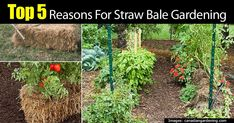 """Growing vegetables and gardens in straw bales has been growing in popularity. Straw bales are big, bulky, heavy and prickly. Some say, it's an """"easy way to garden"""", """"Love it and will never plant my garden any other way ! NO Weeding...Easy on the back and knees"""". Others say no way. Why... #spr #sum"""