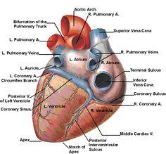 The cardiac cycle Cardiac Anatomy, Medical Anatomy, Human Body Anatomy, Human Anatomy And Physiology, Human Heart Diagram, Cardiac Sonography, Cardiac Cycle, Heart Anatomy, Cardiac Nursing
