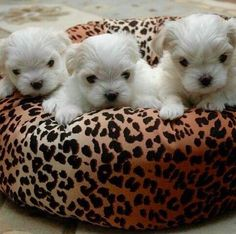 Maltese puppies ❤️