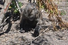 When baboons are predated on, the carcass becomes food for the predator as well as scavengers who come for the scraps. Baboon meat is the most favourite prey of the leopard and in a healthy eco-system, a top predator like a leopard has sufficient natural prey so that it is not necessary to turn to livestock killing for survival. Seed Dispersal, Eco System, Baboon, Most Favorite, Livestock, Predator, Panther, Survival, Scrap