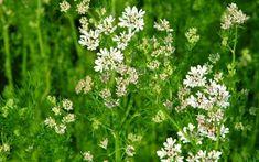 A MAGYAROK TUDÁSA: Kertészeti naptár - Zöldségeskert - Vetés - Növények és Rovarok Társítása Plants, Herbs