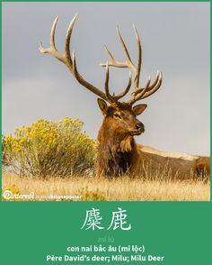 麋鹿 - Mílù - con nai Bắc Âu - Père David's deer; Milu Deer