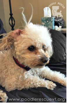 Sammy is having a bad hair day!  Sam is a 10 yr old Champagne colored, male mini poodle.  Sam weighs 11 lbs, loves all people and dogs. Don't let Sam's age fool you, he's a very active guy! Check out our videos to see him zooming around (link in the comments). If you're interested in adopting Sam, fill out an application here http://fs2.formsite.com/PRVT/form2/index.html