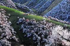 Located in Tuergen Township in Xinyuan County, close to the border of Kazakhstan, Apricot Valley has for years been attracting intrepid tourists who are eager to catch a glimpse of the majestic sea of pink and white apricot blossom that arrives every spring.