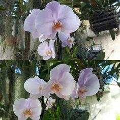 Phalaenopsis Rosa - Nova aquisição - Ano 2017 - Fevereiro