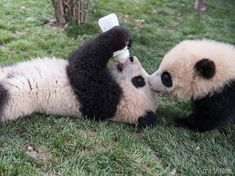 Ami Vitale (@amivitale) в Instagram: «Photo by @amivitale. Snack time for baby pandas at Chengdu Panda Base in Sichuan Province, China.…»