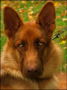 Liver German Shepherd. The liver gene blocks the formation of the black pigment. Great web site explains them and the Blue German Shepherd.