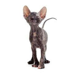 Free Shipping. Buy Wallmonkeys Satisfied Hairless Sphynx Kitten Peel and Stick Wall Decals WM48289 (26 in W x 48 in H) at Walmart.com