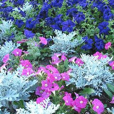 Cool season or winter annuals begin to fail as the temperatures get hotter. Pansies, petunias, ...read more