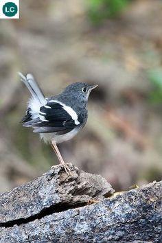 https://www.facebook.com/WonderBirds-171150349611448/ Chích chòe nước trán trắng; Họ Đớp ruồi-Muscicapidae; Tiểu lục địa Ấn Độ và Đông Nam Á    Slaty-backed forktail (Enicurus schistaceus); IUCN Red List of Threatened Species 3.1 : Least Concern (LC)(Loài ít quan tâm).