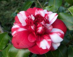Love this camellia!  Camellia japonica 'Formosa de Young' (U.K., 1838)