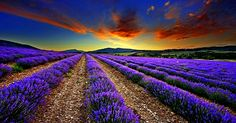 The Miracle of Lavender Oil: 25 Amazing Uses for Survival - Expand your Consciousness