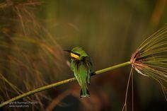 Beautiful Little #Bee-eater taken at #Xigera Camp in #Botswana's #Okavango Delta /// #Safari #Photography