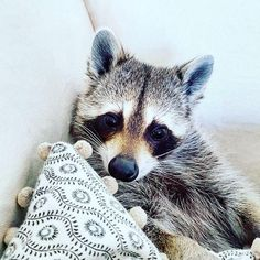 Pumpkin the Raccoon is rescue raccoon who lives with her two dog friends, Toffee and Oreo.