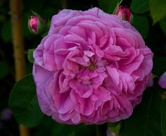 Baronne Prevost by Carolyn Parker, via Flickr