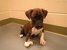"WINDER, GA #EXTREMELY #URGENT ✮ ""Peanut"" ✮ ID #2013-09-236 Pit x, Brindle/WH, Female, 6 Wks Old, #Friendly! Something is #WRONG w her leg & foot. She didn't come into the shelter like this. She gets around pretty good, her spirits are high! HOWEVER she NEEDS to be rescued from the shelter ASAP!!!!!  Barrow County AC Shelter 616 Barrow Pk Dr Winder, GA 30680 Phone 770-307-3012 (NO return long distance) 770 - 867-1660 Fax Kimberly Perez – kperez@barrowga.org Danyal Harper –…"