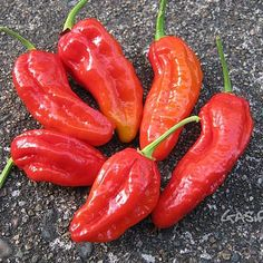 Spanish Naga. 1,086,844 Scoville Units. The Gibralta Naga, or Spanish Naga, is grown in Spain, but was developed in the UK from Indian chili peppers. It beat out the Bhut Jolokia for hottest pepper, but was soon overtaken.