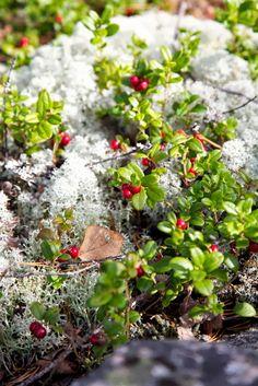 function setAttributeOnload(object, attribute, val) { if(window. Berry Picking, Norwegian Wood, Berries, Fruit, Woods, Plants, Window, Style, Swag