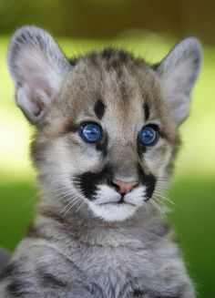 600 best Cougar: America's Big Cat images on Pinterest ...