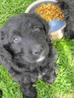 bernedoodle puppy. want. Sooooo cute!!!!I HAVE TO HAVE THIS DOG!