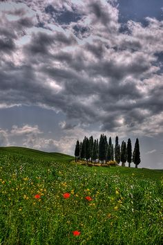 Cypress and Poppies in Tuscany, Italy