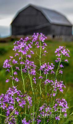 Title  Wildflower - Dame's Rocket - Barn   Artist  Henry Kowalski   Medium  Photograph -