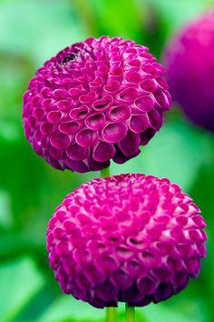 Dahlia 'willo's violet' - Purple flower - by Clive Nichols [Flicker]