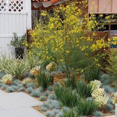 Palo verde is looking very happy in its new home. Love when new planting come to. Palo verde is lo Landscape Materials, Landscape Designs, Garden Landscape Design, Landscape Architecture, Desert Landscape, House Landscape, Succulent Landscaping, Landscaping Plants, Front Yard Landscaping