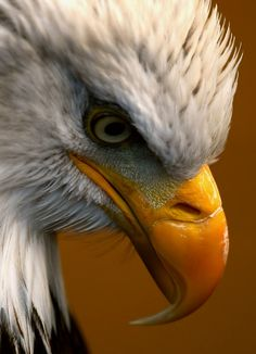 the-heart-of-the-lion: The American Bald Eagle. Symbol of Our Nation's Strength, Courage and Vigilance. Pretty Birds, Beautiful Birds, Animals Beautiful, Nature Animals, Animals And Pets, Cute Animals, Strange Animals, Eagle Pictures, Animal Pictures
