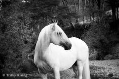 White stallion in stream