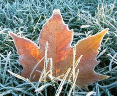 A fallen London Plane leaf caught in the grass on a cold and frosty morning. Photography Tutorials, Macro Photography, Portrait Photography, Photography Ideas, A Touch Of Frost, Fotografia Macro, Digital Photography School, Fallen London, Photo Tips