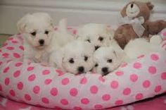 Image result for BICHON PUPPIES