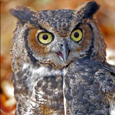 Also want one of these #greathornedowl