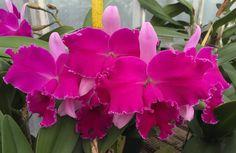 https://flic.kr/p/KpbayE | Rhyncholaeliocattleya Chrissy Compton 'Mary Piazza' (Cattleya Bryan Wheeler x Rhyncholaeliocattleya Hausermann's Amy) Z-13711 #rhyncholaeliocattleya #cattleya #lavender #frangrant #orchid #orchidsbyhausermann | * Flower - 6 inches * Plant - 22 inches with pot * Fragrant * Bloomed in March