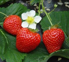 mmm im gonna grow strawberries