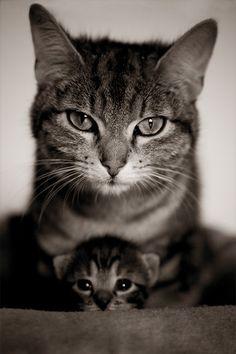 kitty cats, mother, famili, pet, family portraits, baby kittens, baby animals, baby cats, mini