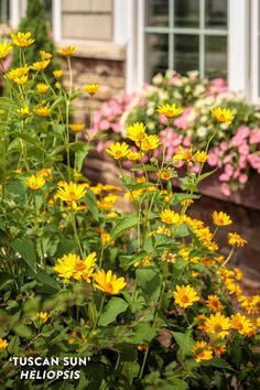 Proven Winners - 'Tuscan Sun' - Perennial Sunflower - Heliopsis helianthoides yellow golden yellow plant details, information and resources. Cut Flowers, Yellow Flowers, Yellow Plants, Natural Ecosystem, Short Plants, Border Plants, Flowering Shrubs, Plant Needs