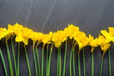 yellow daffodils spring background