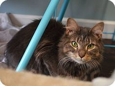 Philadelphia, PA - Domestic Mediumhair. Meet MAZY!, a cat for adoption. http://www.adoptapet.com/pet/17299506-philadelphia-pennsylvania-cat