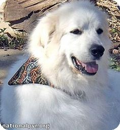 Beacon, NY - Great Pyrenees. Meet Samson in OH, a dog for adoption. http://www.adoptapet.com/pet/14255495-beacon-new-york-great-pyrenees